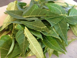 Papaya leaf as cure for dengue